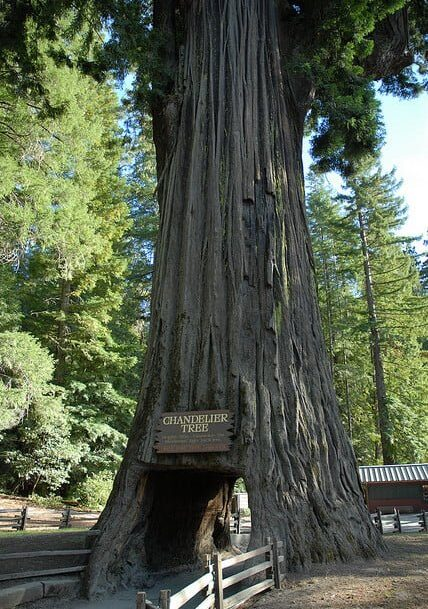 Drive through the famous chandelier tree sea rock bed breakfast inn chandelier tree aloadofball Choice Image