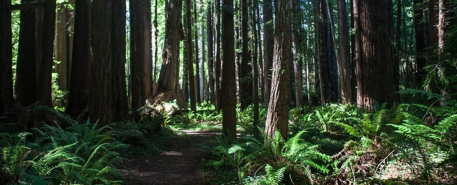 Redwood Forest Path Mendocino Park